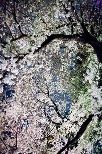 夜桜の写真素材 [FYI00163766]