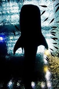ジンベエサメの写真素材 [FYI00163816]