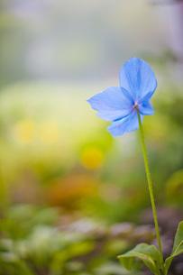 青い芥子の写真素材 [FYI00163832]