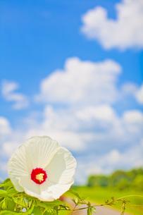 白い花と空の写真素材 [FYI00163844]