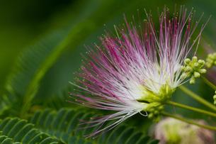 ネムの花の写真素材 [FYI00163849]