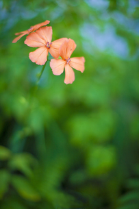 高山植物の写真素材 [FYI00163852]