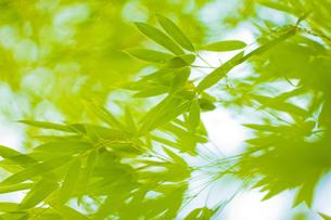 笹の写真素材 [FYI00163871]