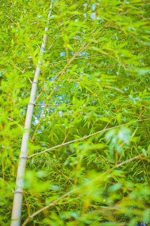 竹の写真素材 [FYI00163872]