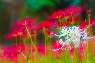 白い彼岸花の写真素材 [FYI00163913]