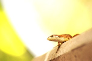 カナヘビの日光浴の写真素材 [FYI00163917]