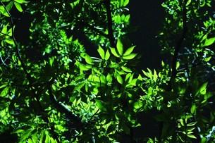 逆光の緑葉の写真素材 [FYI00163933]