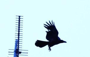 飛び立つカラスの写真素材 [FYI00163936]