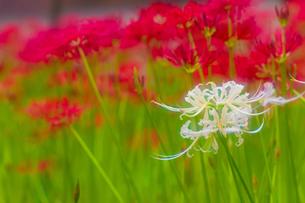 白い彼岸花の写真素材 [FYI00163937]