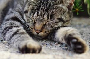 眠る猫の素材 [FYI00164003]