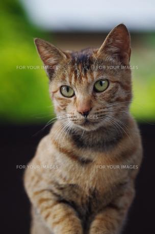 猫の素材 [FYI00164040]