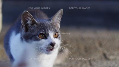 猫の素材 [FYI00164042]