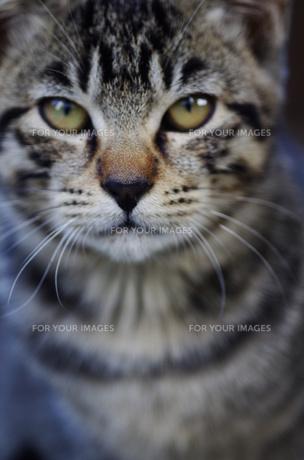 猫の顔の素材 [FYI00164056]