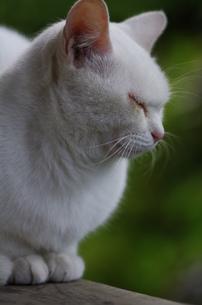 白猫の写真素材 [FYI00164057]