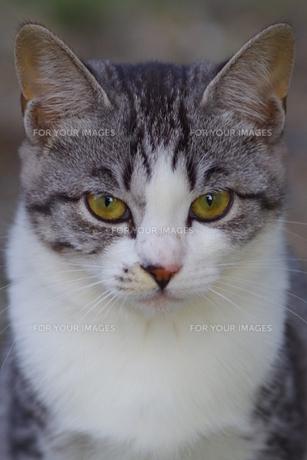 猫の素材 [FYI00164062]
