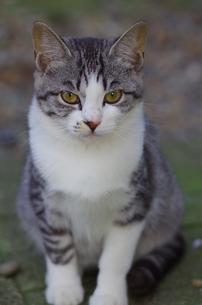 猫の写真素材 [FYI00164089]