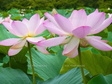 ハスの花、満開の素材 [FYI00164143]