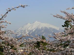 桜と岩木山の素材 [FYI00164144]