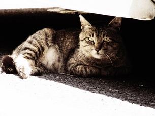 ボス顔の猫の素材 [FYI00164145]