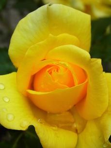 黄色のバラの素材 [FYI00164153]