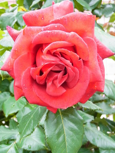 赤いバラの素材 [FYI00164154]