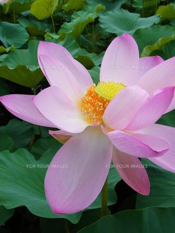 ハスの花の素材 [FYI00164157]