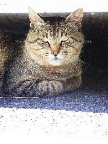 ボス顔の猫の素材 [FYI00164161]