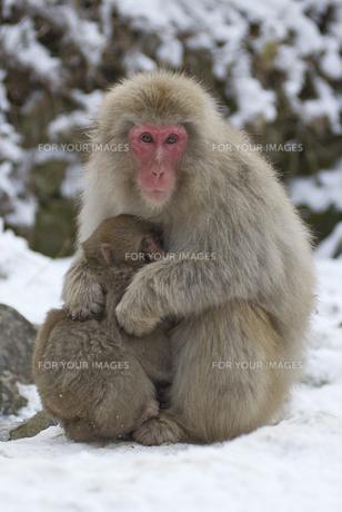コザルを暖める母猿の素材 [FYI00164174]