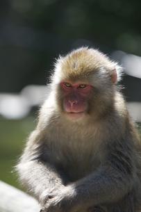 サルの写真素材 [FYI00164189]
