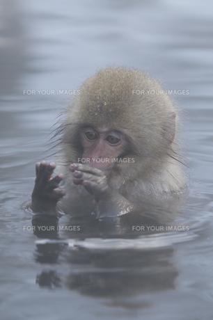 温泉に入るコザルの素材 [FYI00164193]