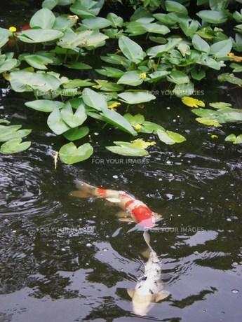 鯉の池の素材 [FYI00164429]