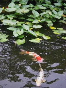 鯉の池の写真素材 [FYI00164429]
