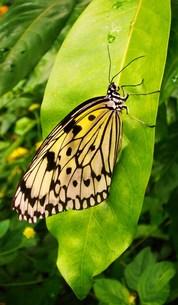 蝶1の素材 [FYI00164448]