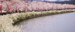 桜並木の素材 [FYI00164449]