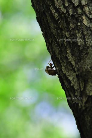 都会の森で見つけたセミの抜け殻の素材 [FYI00164457]