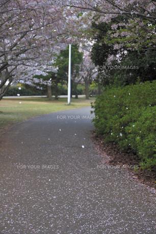 桜吹雪の写真素材 [FYI00164462]