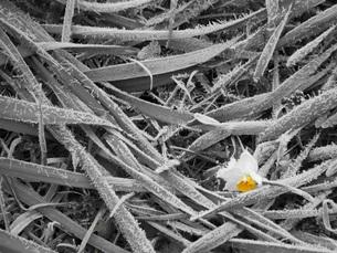 霜柱と水仙の花の素材 [FYI00164476]