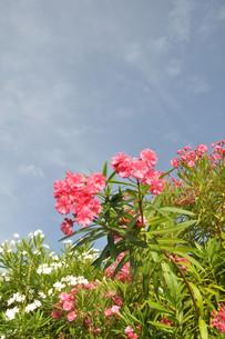 夏空とキョウチクトウの写真素材 [FYI00164481]