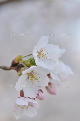 さくらの花の写真素材 [FYI00164483]