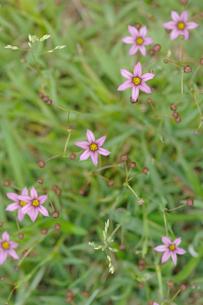 ニワゼキショウの花の写真素材 [FYI00164487]