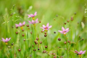 ニワゼキショウの花の写真素材 [FYI00164494]