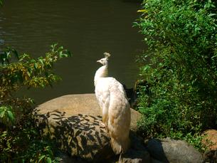 白孔雀の写真素材 [FYI00164506]