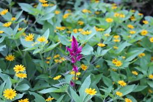 黄色い花に囲まれて咲く赤いケイトウの写真素材 [FYI00164645]