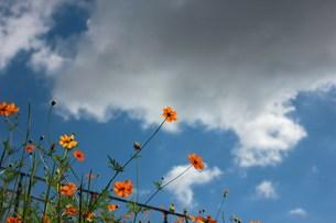 秋の青空と雲とオレンジ色のコスモスの写真素材 [FYI00164656]