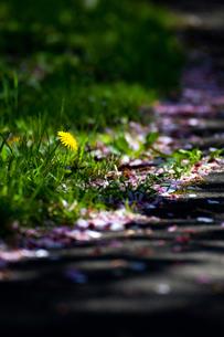 道端に咲いているタンポポの素材 [FYI00164693]