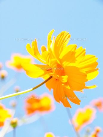 黄色いコスモスと青空の素材 [FYI00164701]