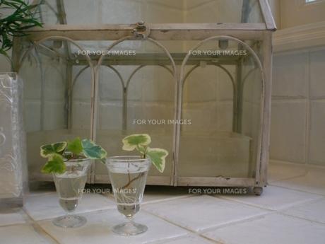 グラスの中のアイビーの写真素材 [FYI00164823]