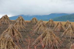 秋の豆畑の写真素材 [FYI00164841]