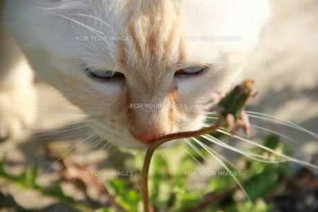 たんぽぽの茎を押す猫の写真素材 [FYI00164851]