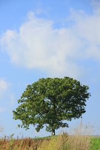 セブンスターの木の写真素材 [FYI00164879]
